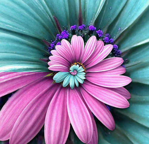 Spiral teal and pink daisy pic